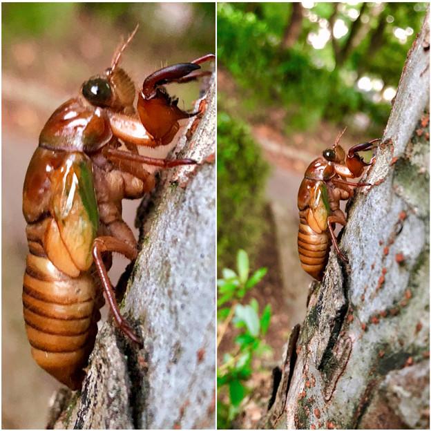 今夏(2018年)初めて出会った脱皮前のセミの幼虫 - 7