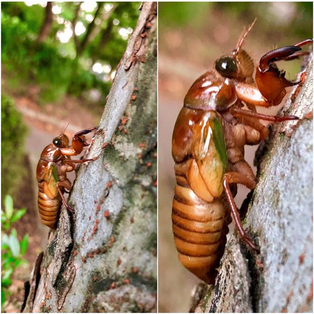 今夏(2018年)初めて出会った脱皮前のセミの幼虫 - 8
