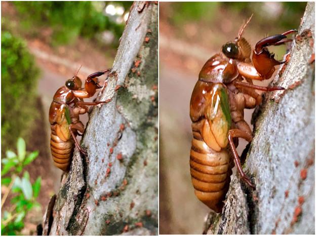 今夏(2018年)初めて出会った脱皮前のセミの幼虫 - 9