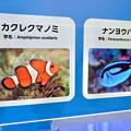 名古屋港水族館AQUA LIVE in ミッドランドスクエア 2018 - 18:カクレクマノミとナンヨウハギ