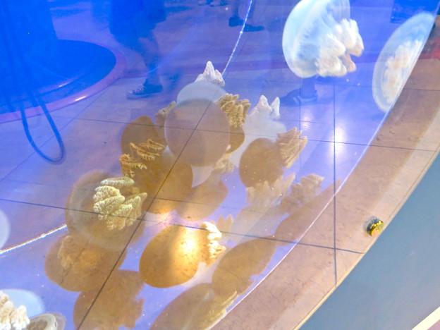 名古屋港水族館AQUA LIVE in ミッドランドスクエア 2018 - 20:カラージェリーフィッシュ