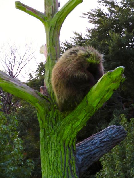 東山動植物園ナイトZoo 2018 No - 27:木の上で眠るカナダヤマアラシ