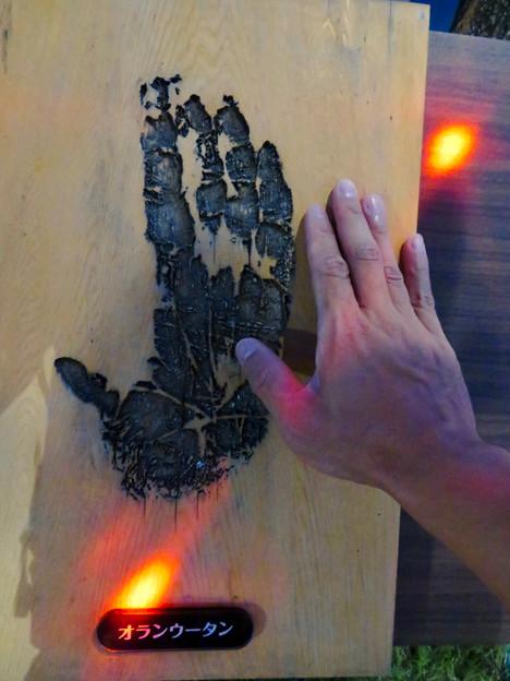 東山動植物園ナイトZoo 2018 No - 42:オラウータンの手形