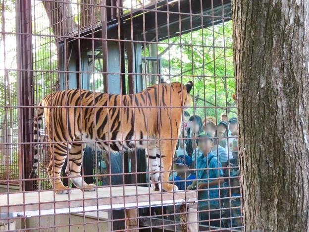 東山動植物園 2018年8月 No - 15:沢山の人がいたトラ舎