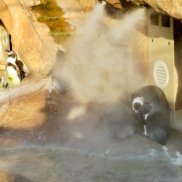東山動植物園 2018年8月 No - 24:冷却ミストの真下でじっとしていたフンボルトペンギンたち