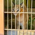 写真: 東山動植物園 2018年8月 No - 35:尖った耳を持つネコ科動物「カラカル」