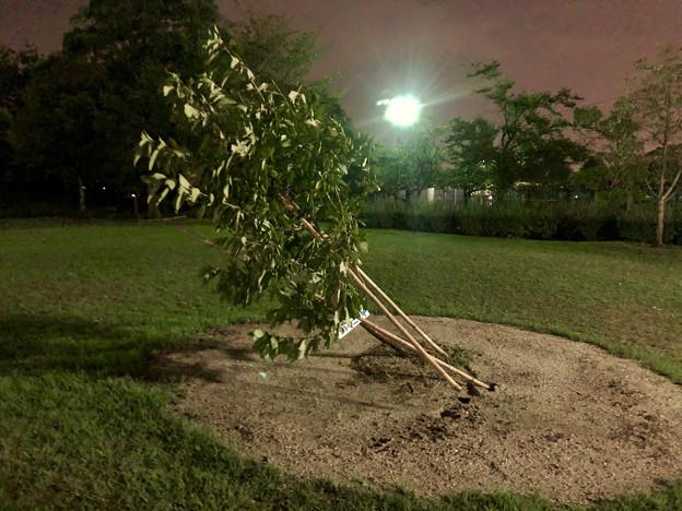 台風21号:強風の影響で倒れていた桃花台中央公園の木 - 2