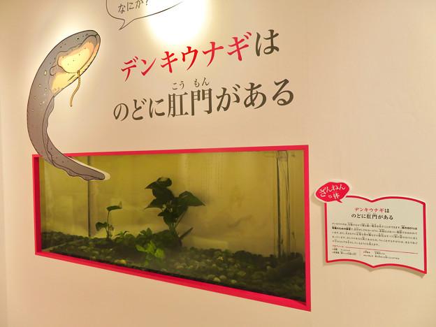ざんねんないきもの展 2018 No - 3:デンキウナギ