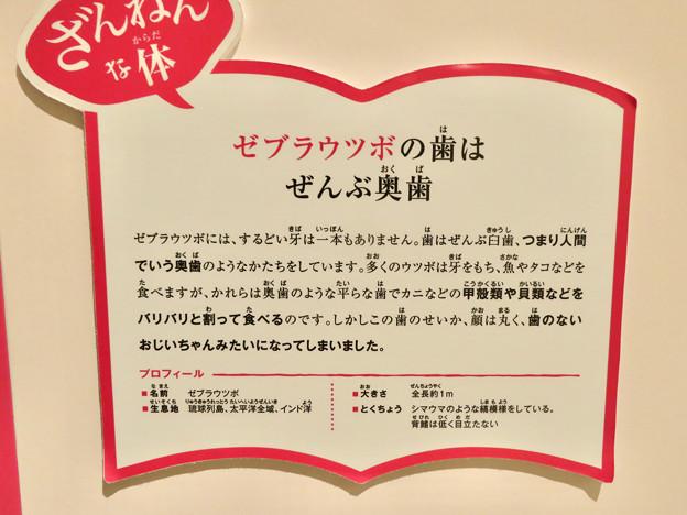 ざんねんないきもの展 2018 No - 17:ゼブラウツボの説明