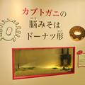 Photos: ざんねんないきもの展 2018 No - 24:カブトガニ(ミナミカブトガニ)
