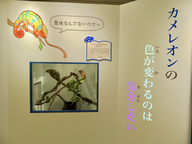 ざんねんないきもの展 2018 No - 66:カメレオン(パンサーカメレオン)