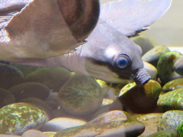 ざんねんないきもの展 2018 No - 106:ガスマスクを付けてる様なスッポンモドキ(別名「ブタバナガメ」)の顔