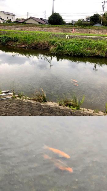 「Camera7」で撮影した内津川の鯉 - 1