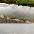 Photos: 「Camera7」で撮影した内津川の鯉 - 1
