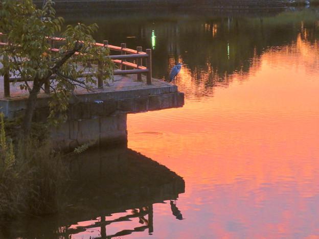 鮮やかな夕焼けの日、池のふちに佇むアオサギ - 1