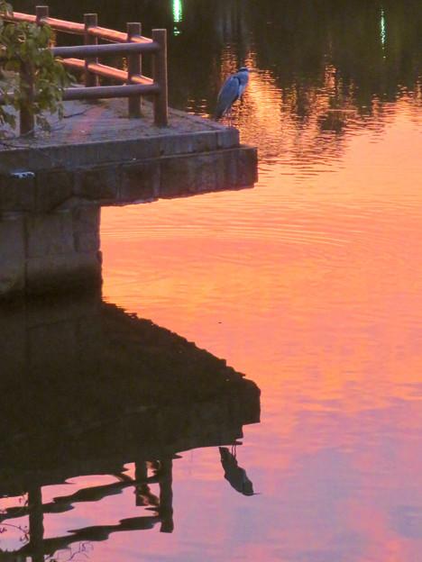鮮やかな夕焼けの日、池のふちに佇むアオサギ - 2