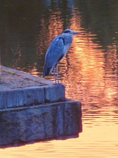 鮮やかな夕焼けの日、池のふちに佇むアオサギ - 3