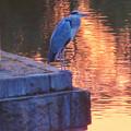 写真: 鮮やかな夕焼けの日、池のふちに佇むアオサギ - 3