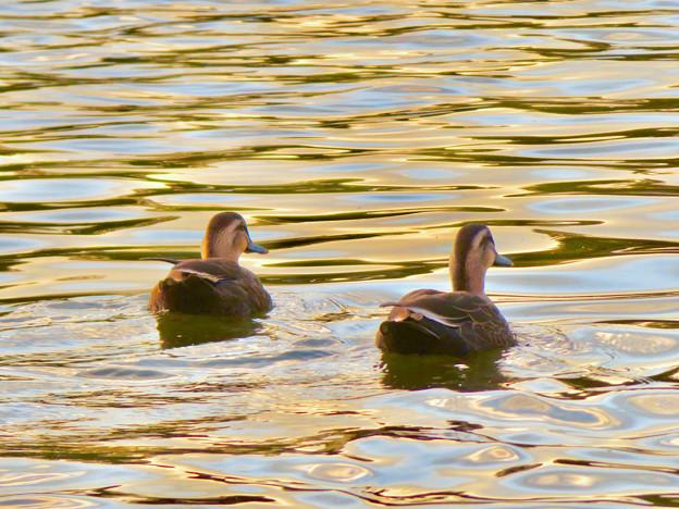 写真: 夕暮れ時、集まって泳ぐ落合池のカモ - 3