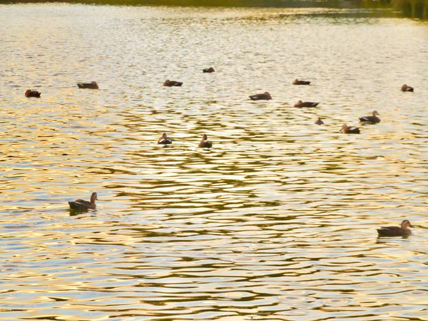 夕暮れ時、集まって泳ぐ落合池のカモ - 4