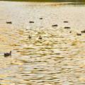 写真: 夕暮れ時、集まって泳ぐ落合池のカモ - 4
