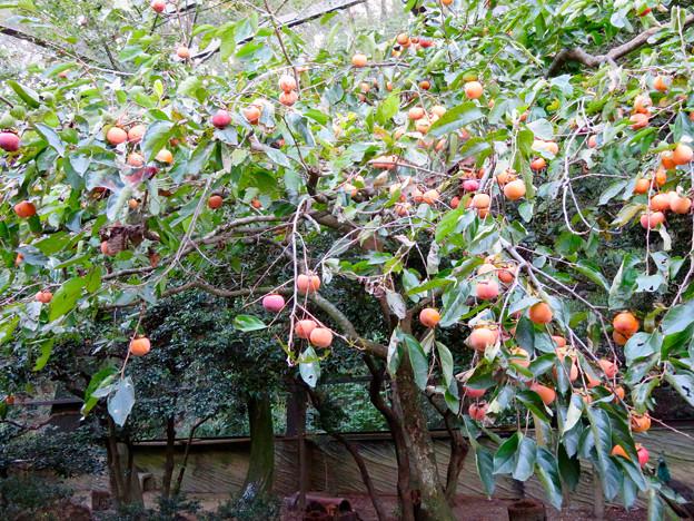 柿が大量に実ってた東山動植物園バードホール(2018年10月21日)