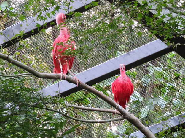 東山動植物園バードホール:珍しく木の上にいたショウジョウトキ - 1