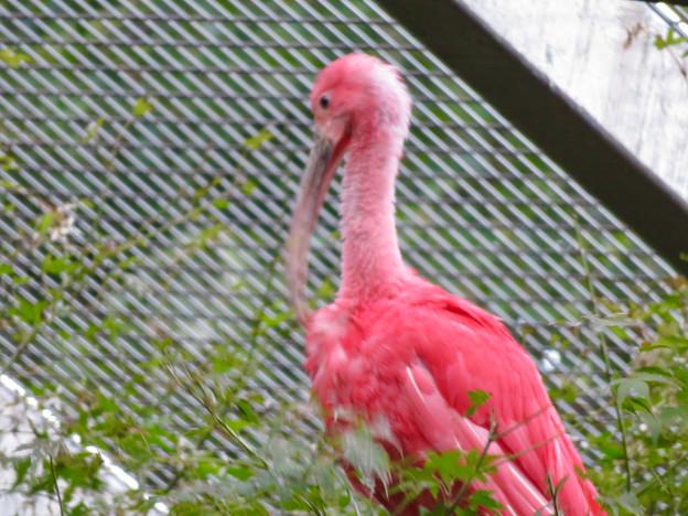 東山動植物園バードホール:珍しく木の上にいたショウジョウトキ - 2