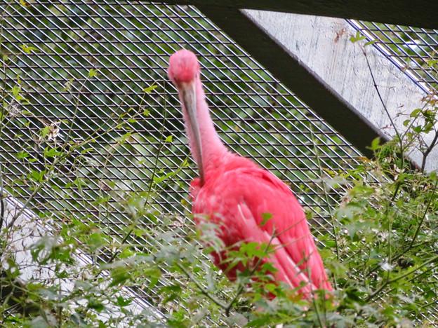 東山動植物園バードホール:珍しく木の上にいたショウジョウトキ - 3