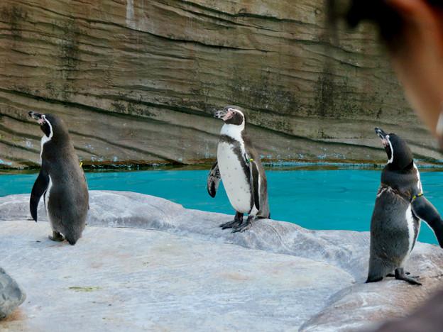 東山動植物園(2018年10月) - 21:フンボルトペンギン