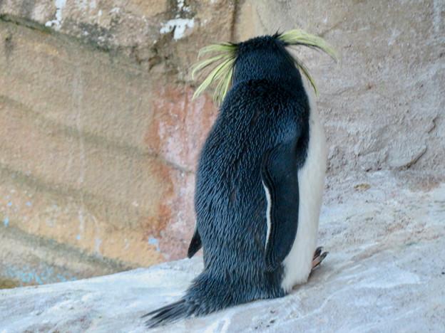東山動植物園(2018年10月) - 23:イワトビペンギンの後ろ姿