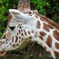 東山動植物園(2018年10月) - 28:アミメキリンの後頭部
