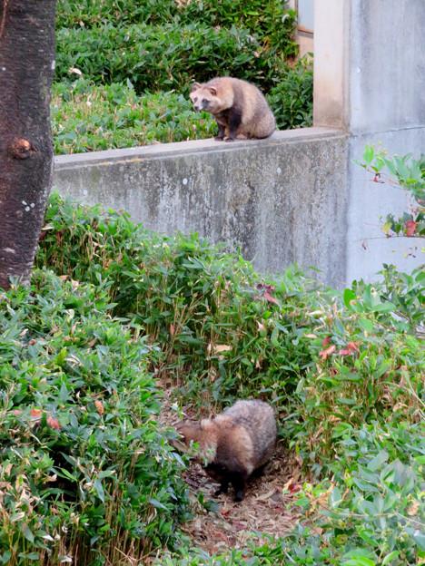 東山動植物園(2018年10月) - 33:ホンドタヌキ