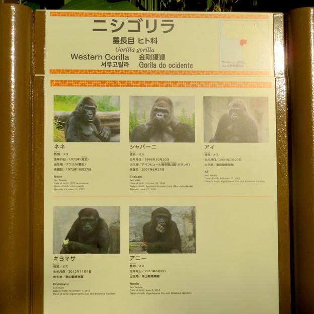 東山動植物園:新ゴリラ・チンパンジー舎 - 3(ゴリラの名前)