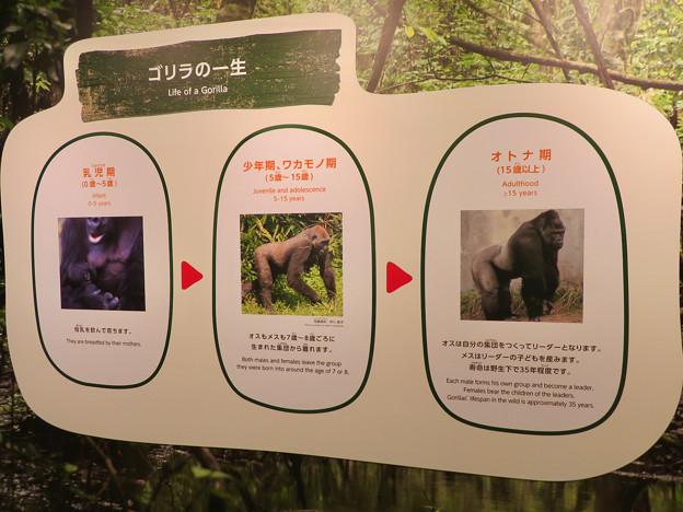東山動植物園:新ゴリラ・チンパンジー舎 - 8(ゴリラの一生)