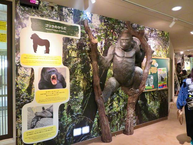 東山動植物園:新ゴリラ・チンパンジー舎 - 10(ゴリラの体)