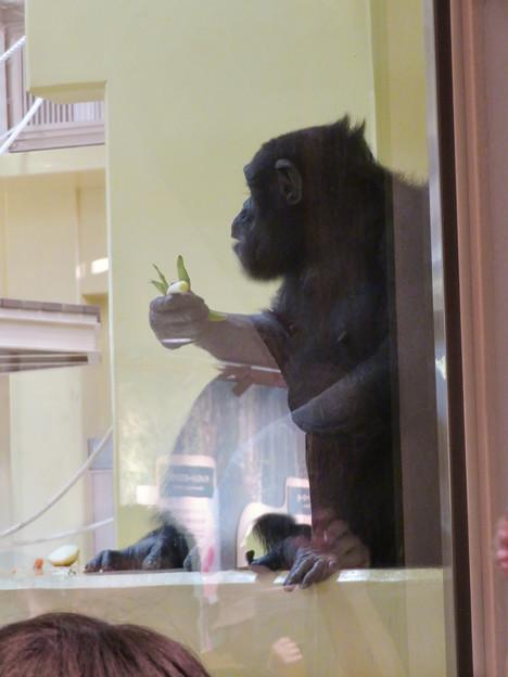 東山動植物園:新ゴリラ・チンパンジー舎 - 17(チンパンジー)