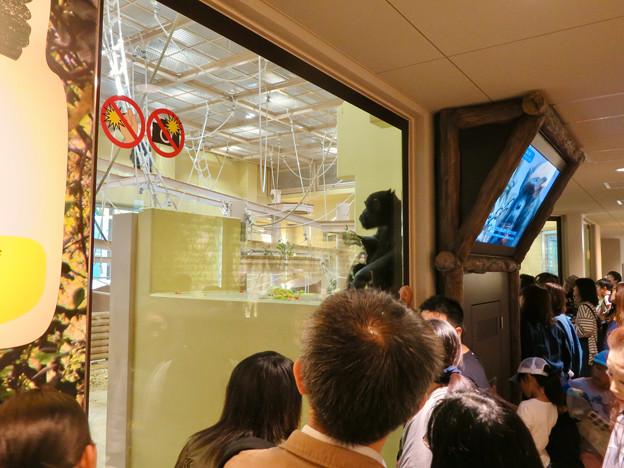 東山動植物園:新ゴリラ・チンパンジー舎 - 18(チンパンジー)