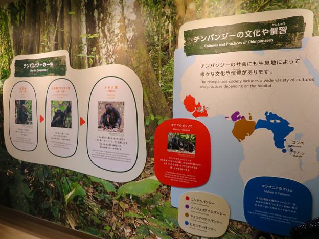 東山動植物園:新ゴリラ・チンパンジー舎 - 27(チンパンジーの文化や慣習ほか)