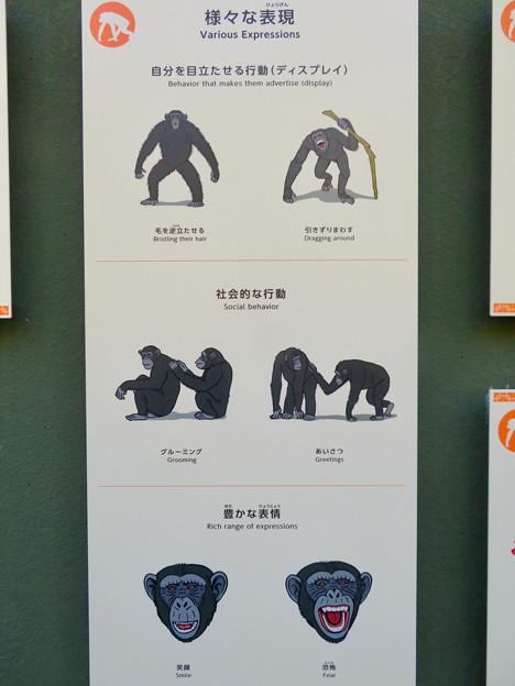 東山動植物園:新ゴリラ・チンパンジー舎 - 39(チンパンジーの様々な表情)