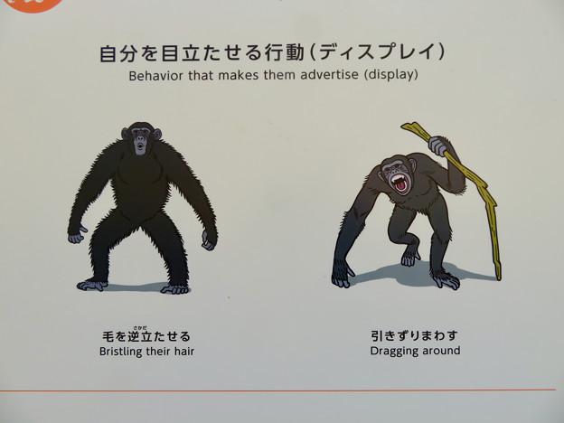 東山動植物園:新ゴリラ・チンパンジー舎 - 40(チンパンジーのディスプレイ行動)
