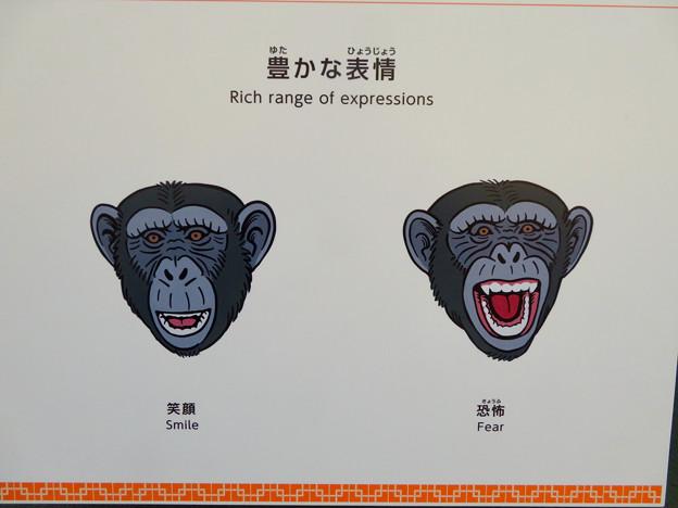 東山動植物園:新ゴリラ・チンパンジー舎 - 42(チンパンジーの表情)