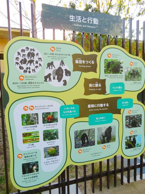 東山動植物園:新ゴリラ・チンパンジー舎 - 51(チンパンジーの生活と行動)