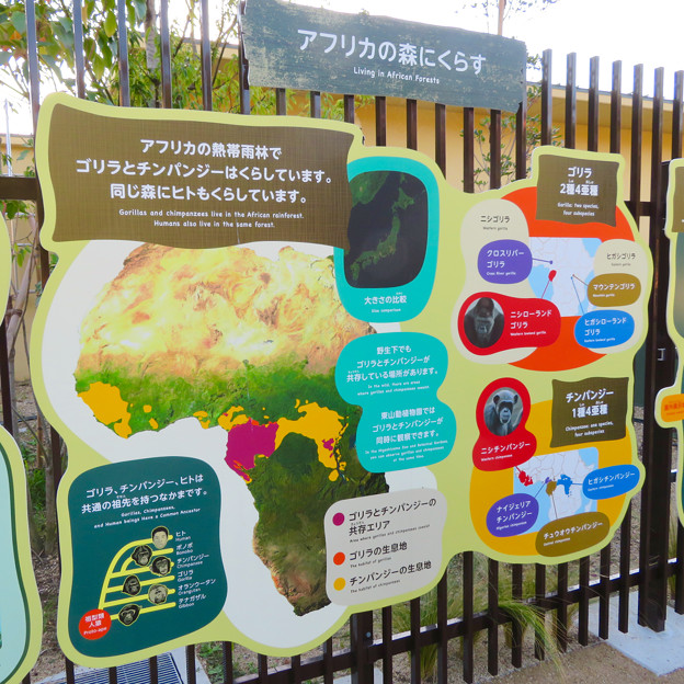 東山動植物園:新ゴリラ・チンパンジー舎 - 52(ゴリラとチンパンジーの暮らすアフリカの環境)