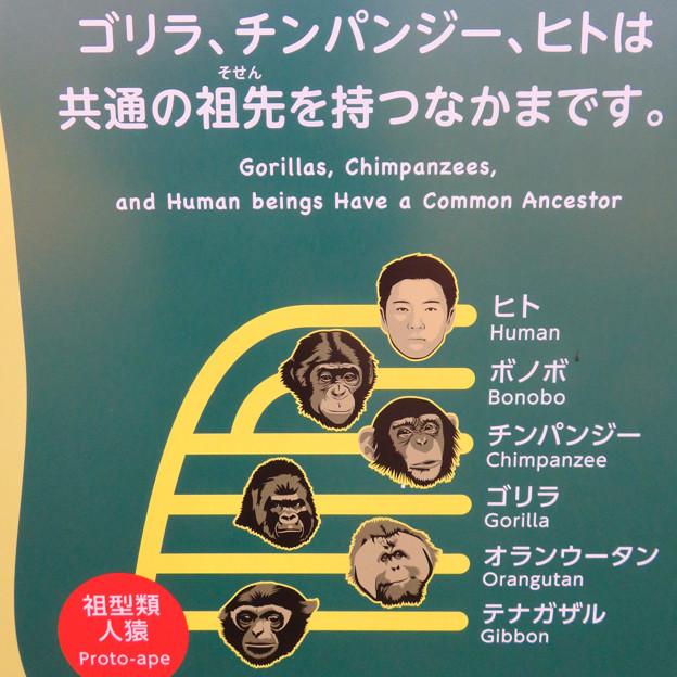 東山動植物園:新ゴリラ・チンパンジー舎 - 53(「進化の枝分かれ」のヒトが松岡修造さん似?w)