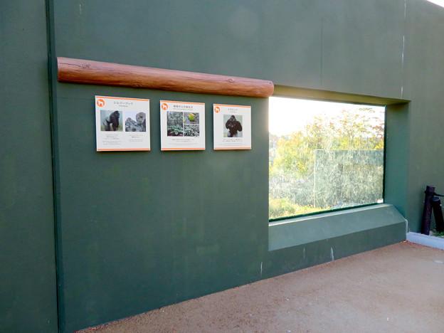 東山動植物園:新ゴリラ・チンパンジー舎 - 57(観察窓)