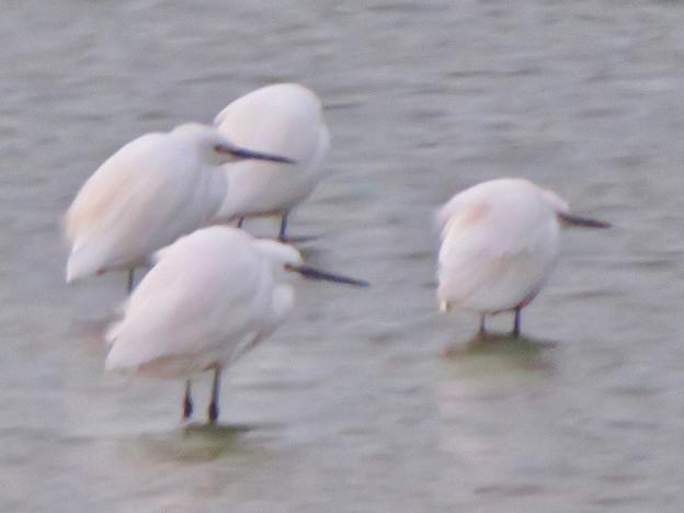 秋の落合公園:寒そうに身をかがめてた池の鳥 - 3(シラサギ)