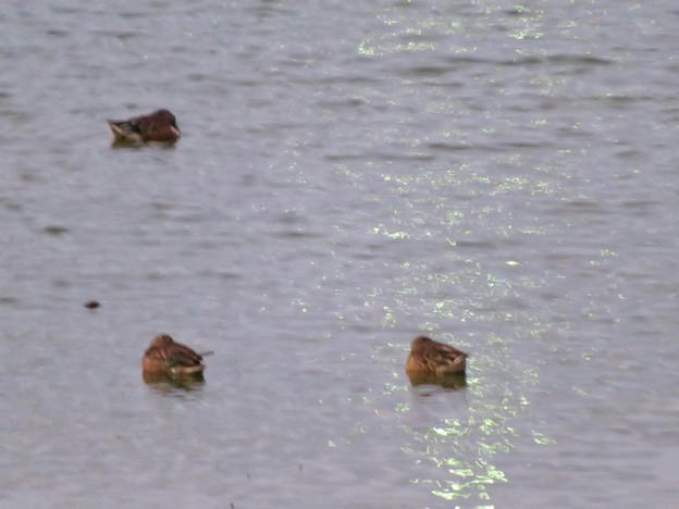 秋の落合公園:寒そうに身をかがめてた池の鳥 - 4(カモ)