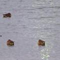 Photos: 秋の落合公園:寒そうに身をかがめてた池の鳥 - 4(カモ)