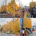 Photos: そぶえイチョウ黄葉まつり 2018 No - 90